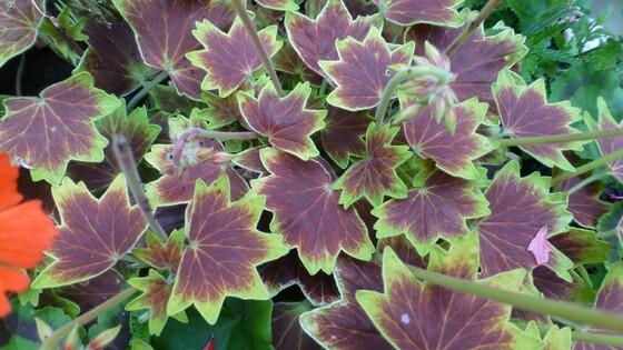 Variegated Geranium in white planter