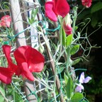 My emerging Sweet Peas